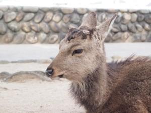 イケメンな鹿がたくさん 奈良のコたちよりずいぶん大人しい