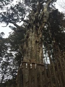 樹齢3000年と言われている神代杉